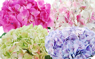 hydrangea-colors-wedding1