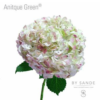 Wholesale Flower Distributor - Antique Green